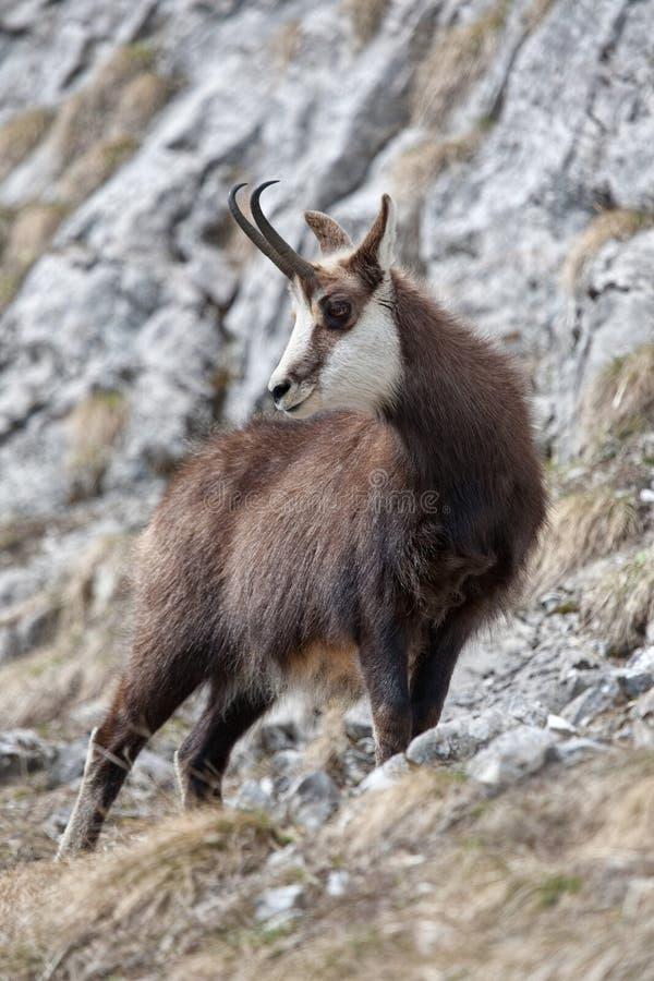 Cabra-montesa foto de stock