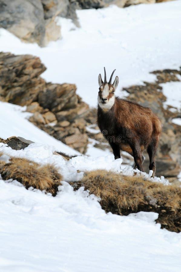Cabra-montesa na montanha nevado imagens de stock royalty free