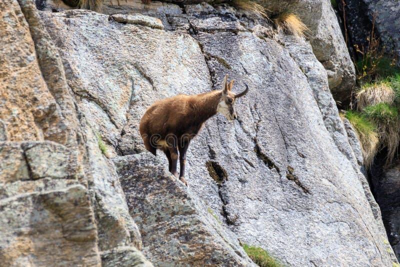 Cabra-montesa nas rochas fotografia de stock