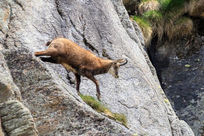 Cabra-montesa nas rochas foto de stock