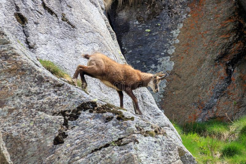 Cabra-montesa nas rochas foto de stock royalty free