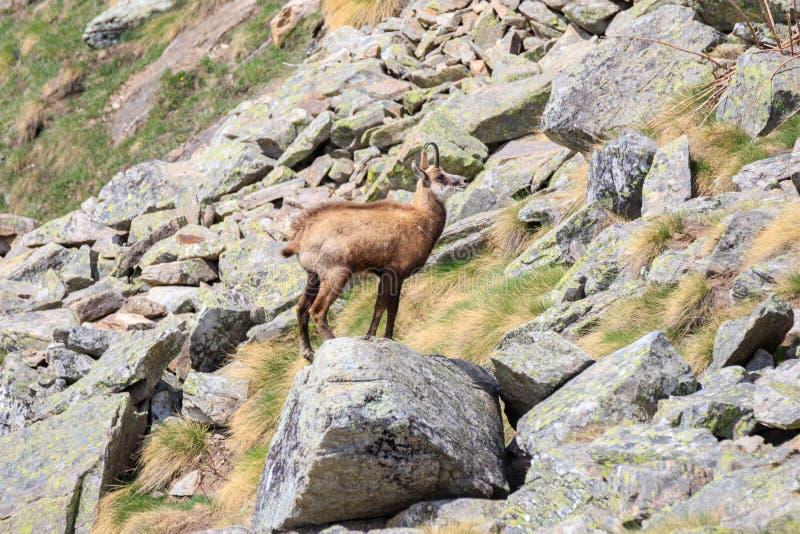 Cabra-montesa nas rochas fotografia de stock royalty free