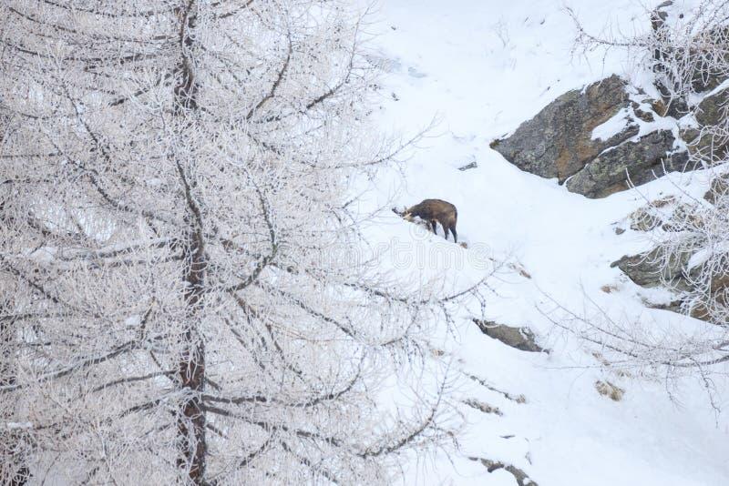 Cabra-montesa & x28; Rupicapra& x29 do Rupicapra; foto de stock