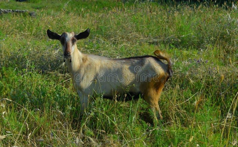 Cabra na grama luxúria verde em um prado do verão foto de stock royalty free