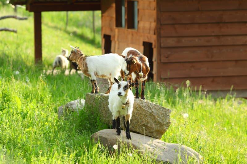 Cabra na grama verde foto de stock