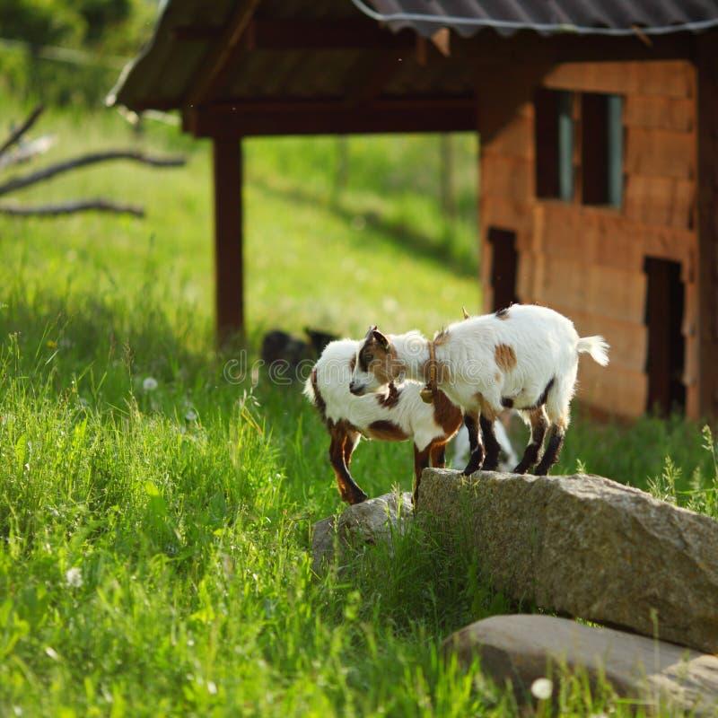 Cabra na grama verde imagens de stock