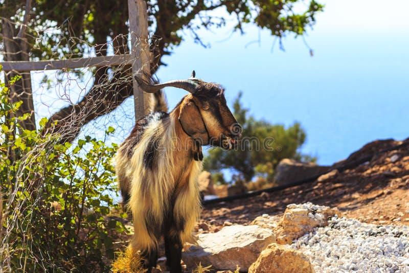 Cabra na montanha fotografia de stock royalty free