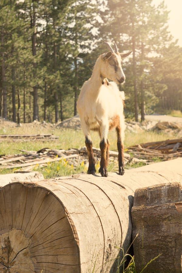 Cabra na natureza que está na árvore foto de stock royalty free