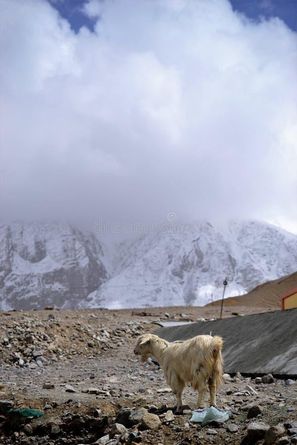 Cabra nas montanhas, Kashgar de Xinjiang, China foto de stock