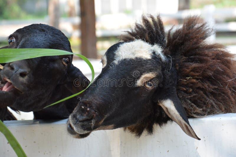 Cabra negra imagen de archivo