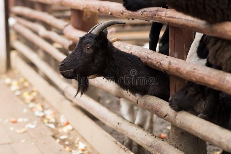 Cabra negra detrás de la cerca de madera Granja fotos de archivo libres de regalías