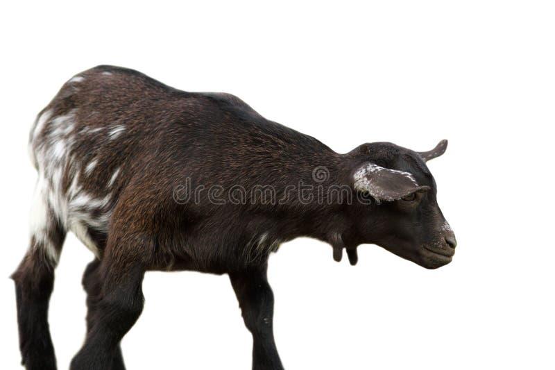Cabra negra sobre el fondo blanco fotos de archivo