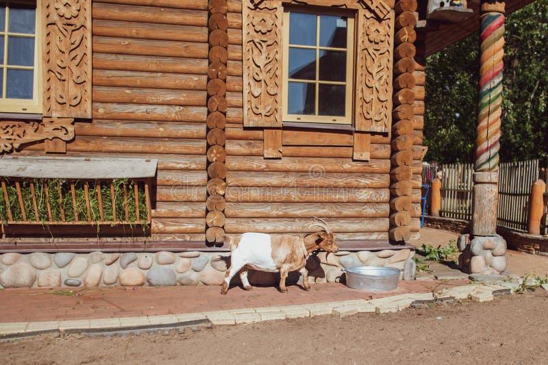 Cabra no fundo de uma casa de log, um tema do russo, uma exploração agrícola, uma jarda fotos de stock royalty free