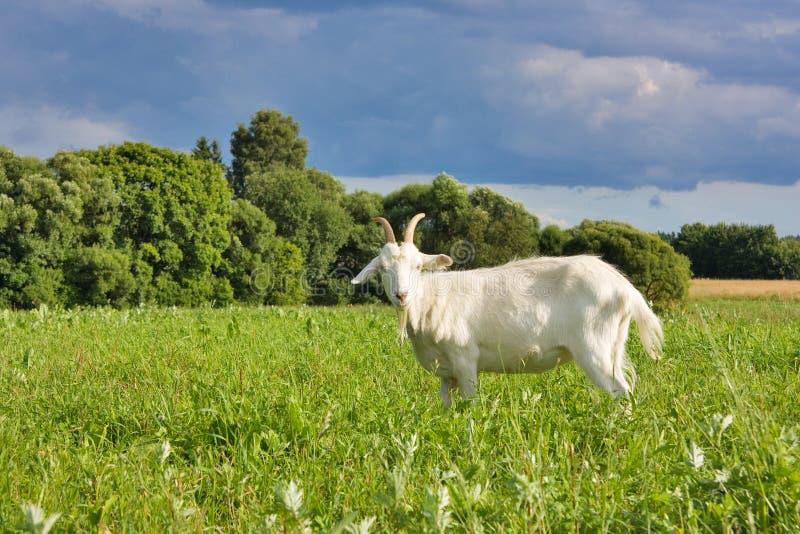 Cabra no prado imagem de stock