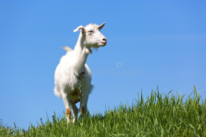 Cabra no prado verde fotos de stock