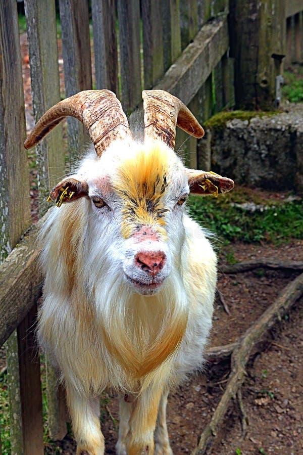 Cabra no vale de Saanen fotografia de stock royalty free