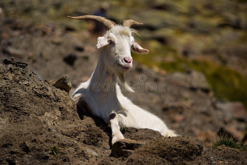 Cabra nos Pyrenees imagens de stock