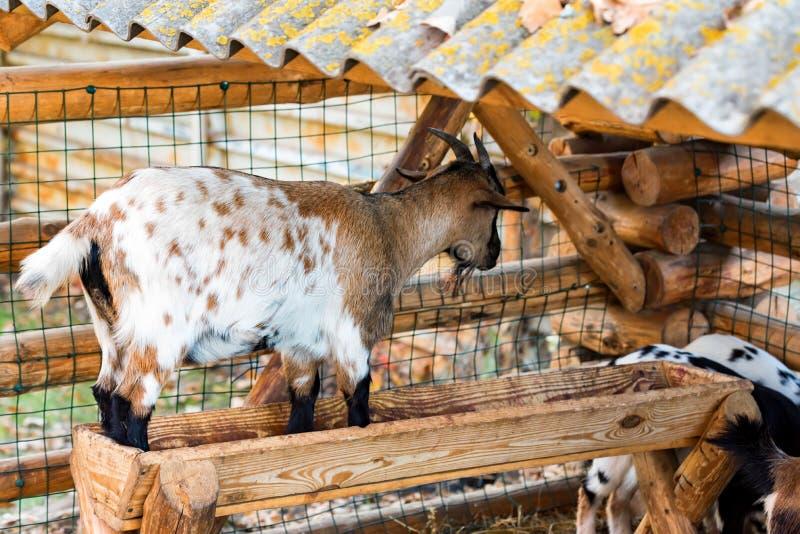 A cabra nova pequena está no alimentador no jardim zoológico foto de stock