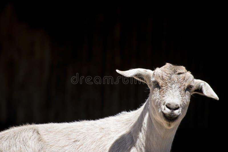 Cabra ou criança nova fotografia de stock
