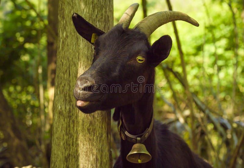 Cabra preta com língua para fora imagens de stock royalty free