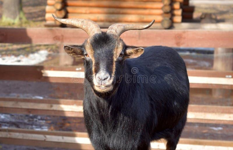 Cabra preta doméstica foto de stock royalty free