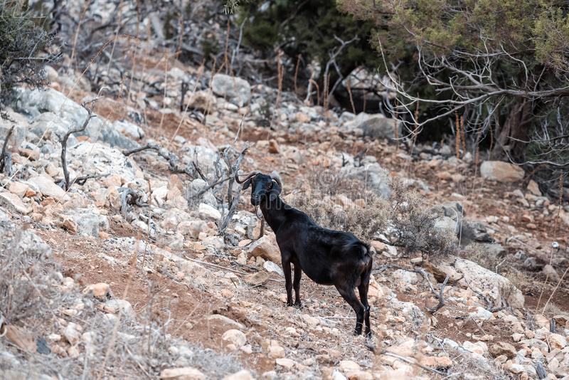 Cabra preta nas montanhas fotografia de stock royalty free