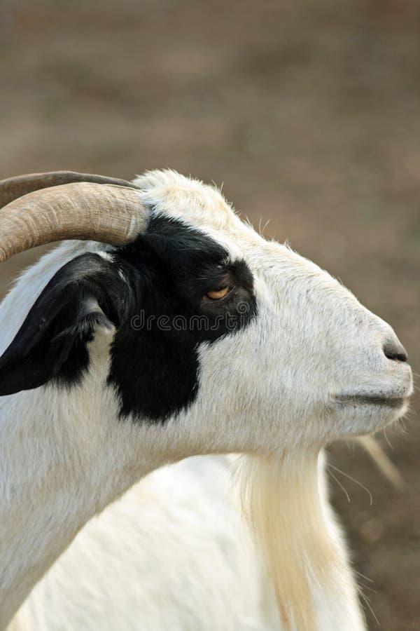Cabra preto e branco fotografia de stock