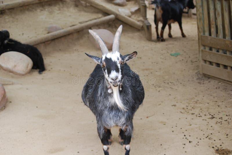 Cabra preto e branco com chifres grandes fotos de stock royalty free