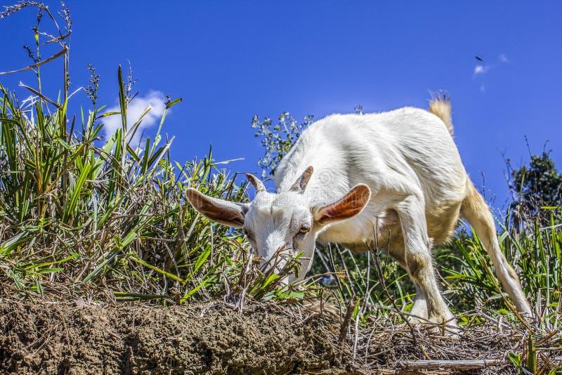 Cabra que come a grama fotografia de stock