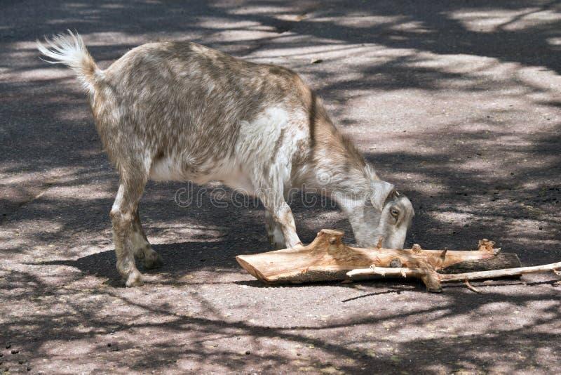 Cabra que come a madeira foto de stock royalty free