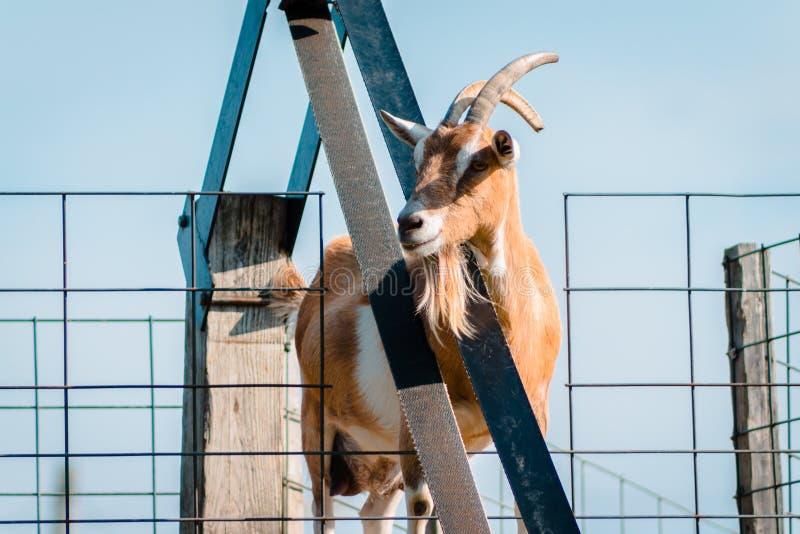 Cabra que espera axiously pelo alimento para vir acima da correia fotografia de stock