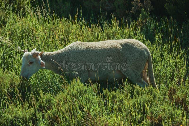 Cabra que pasta en sward verde con los arbustos imagenes de archivo