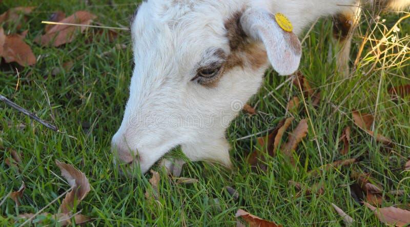 Cabra que pasta no tema os domésticos e de exploração agrícola dos animais do campo, fotos de stock