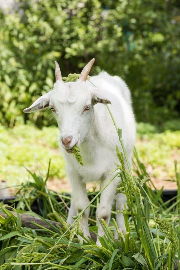 Cabra que senta-se na grama fotos de stock