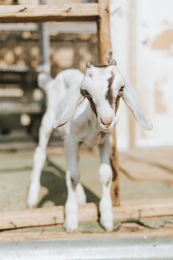 Cabra salvada do bebê, o santuário em Soledad, Mojave imagem de stock royalty free