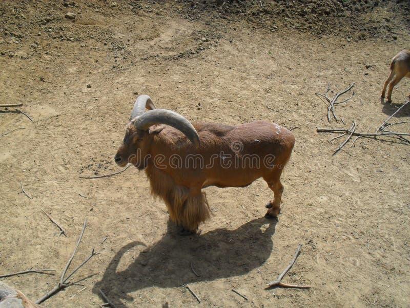 Cabra salvaje foto de archivo libre de regalías