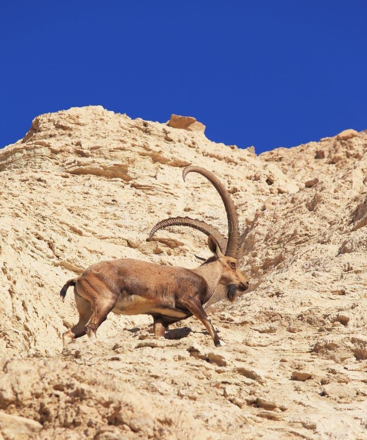 Cabra salvaje con los claxones enormes en el salto rápido fotografía de archivo libre de regalías