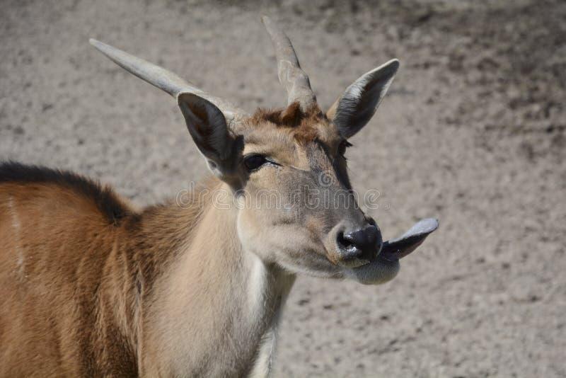 Cabra salvaje que muestra la lengua fotografía de archivo