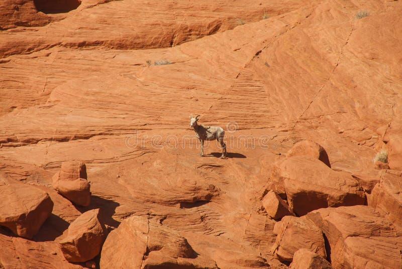 Cabra selvagem em uma parede de garganta vermelha da rocha foto de stock