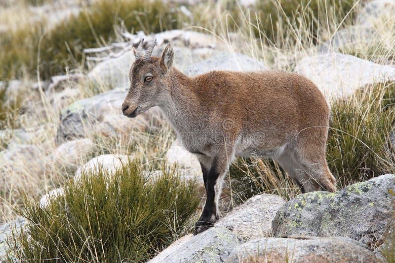 Cabra selvagem espanhola imagens de stock