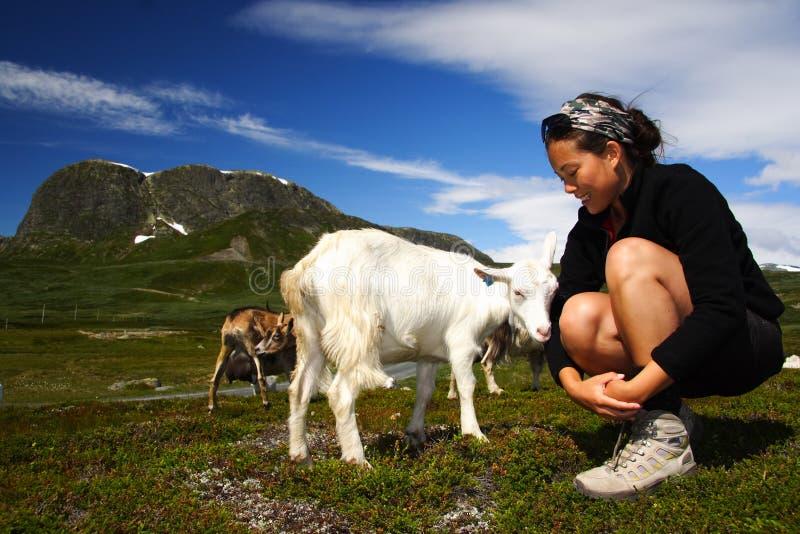 Cabra y caminante en Noruega imagen de archivo