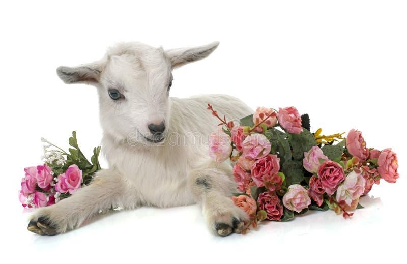 Cabra y flores jovenes blancas imagenes de archivo