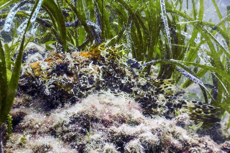 Cabracho rojo camuflado del scrofa del Scorpaena de los pescados de escorpión fotografía de archivo libre de regalías