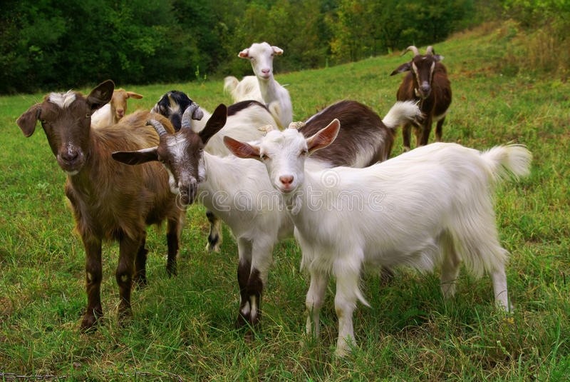 Cabras imagem de stock royalty free