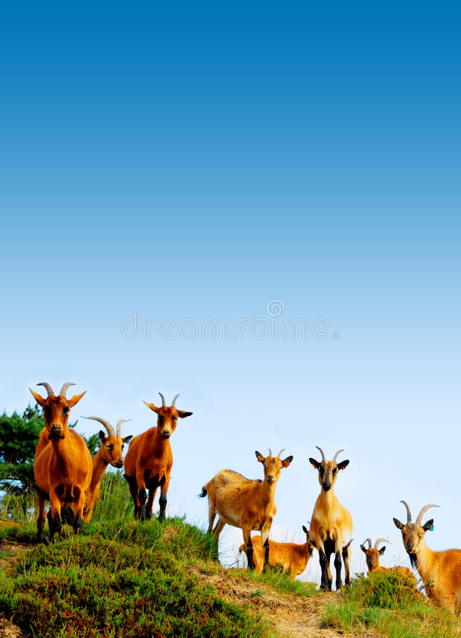 Download Cabras 2 foto de stock. Imagem de ecology, verde, carne - 10050500