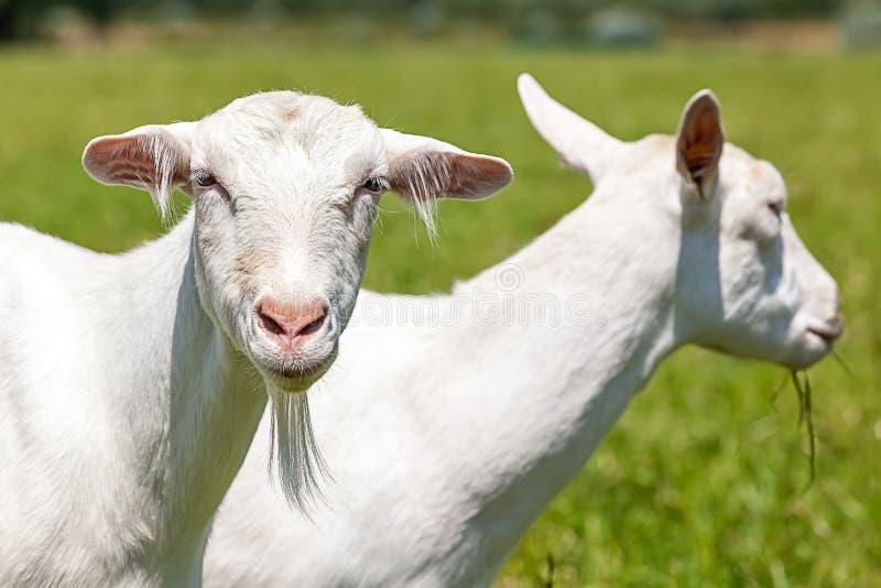 Cabras imagem de stock