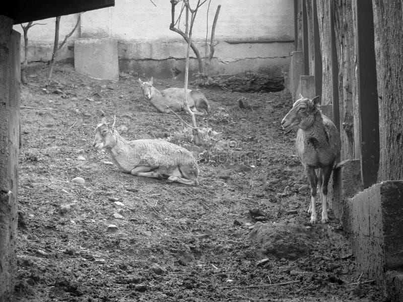 Cabras fotos de archivo