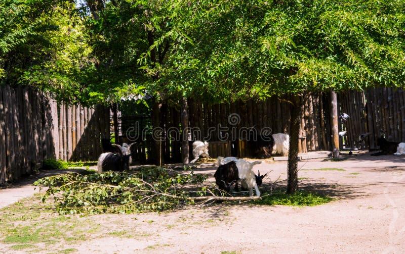 Cabras adultas salvajes imagenes de archivo
