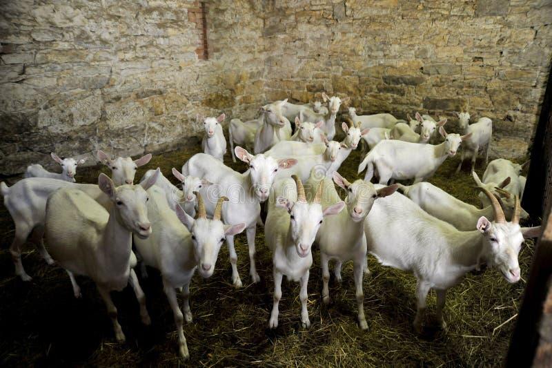 Cabras blancas fotos de archivo libres de regalías