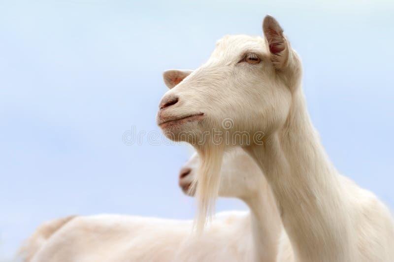 Cabras blancas fotografía de archivo
